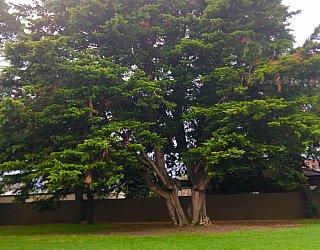 Dumbarton Avenue Reserve Large Tree