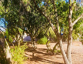 Tonsley Reserve Trees