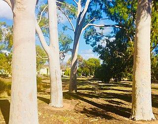 Tonsley Reserve Gum Trees