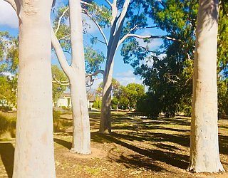 Tonsley Reserve Gum Trees
