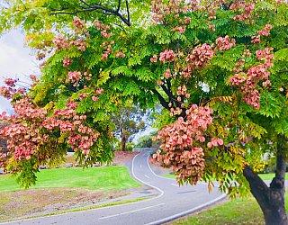 Hugh Johnson Boulevard Reserve Chinese Elm