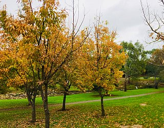 Hugh Johnson Boulevard Reserve Autumn Tree 2