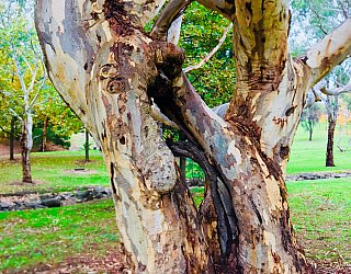 Hugh Johnson Boulevard Reserve Twisted Tree