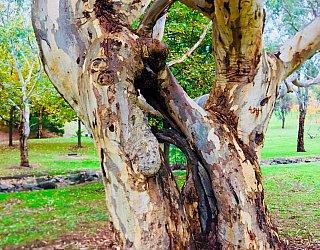 Hugh Johnson Boulevard Reserve Twisted Tree