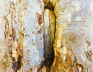 Warriparingga Wetlands Scar Tree 3
