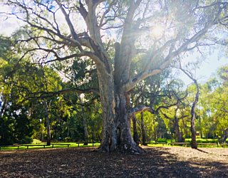 Warriparingga Wetlands Scar Tree 2