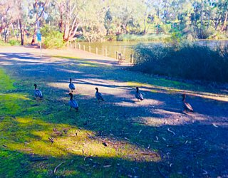 Warriparingga Wetlands Ducks