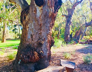 Warriparingga Wetlands Sitting Tree