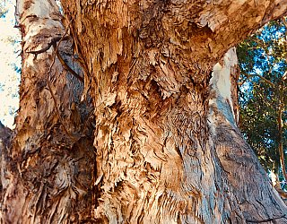 Everest Avenue Reserve Van Gogh Tree 3