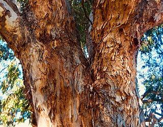 Everest Avenue Reserve Van Gogh Tree 2