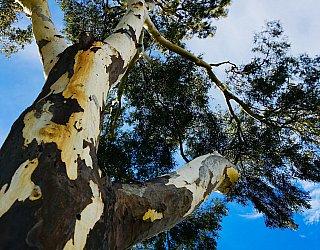 Mitchell Street Reserve Tree Sky 3