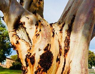 Mitchell Street Reserve Gnarly Tree 1