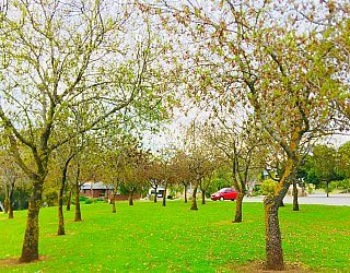 Hessing Crescent Reserve Trees 3