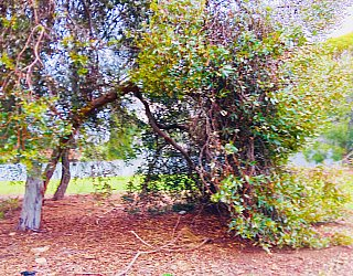 Tyson Avenue Reserve Trees 3