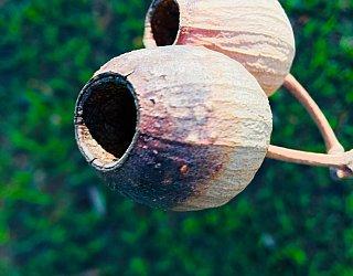 Ash Avenue Reserve Large Gum Nuts