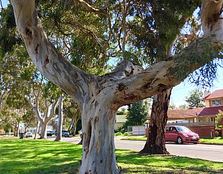 Woodforde Family Reserve Tree 3