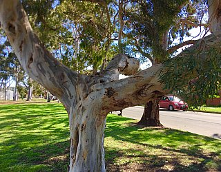 Woodforde Family Reserve Tree 2