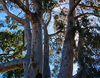 Woodforde Family Reserve Tree 1