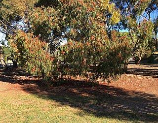 Nannigai Drive Reserve Trees 2