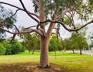Bombay Avenue Reserve Tree 1