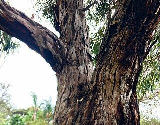 Kellett Reserve Oval Tree 1