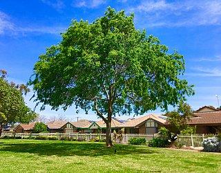 Jacaranda Grove Reserve Tree 2