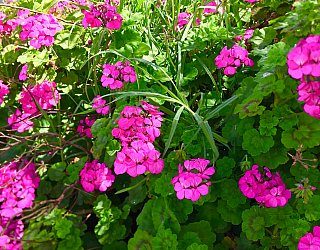 Jacaranda Grove Reserve Flower 2