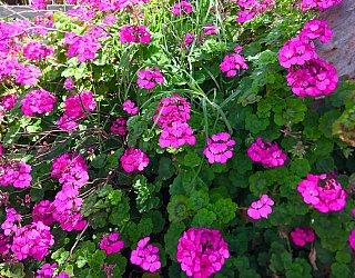 Jacaranda Grove Reserve Flower 1