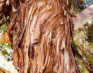 Jacaranda Grove Reserve Tree 1