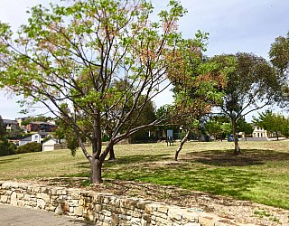 Mostyn Road Reserve Tree 1