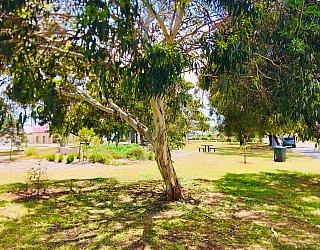 Waratah Square Reserve Tree 1