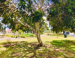 Waratah Square Reserve Tree 1