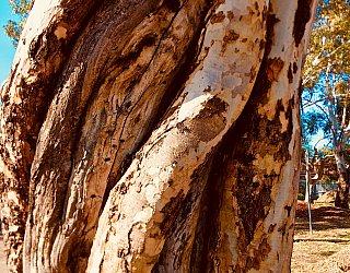 Crown Street Reserve Tree 1
