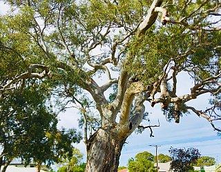 Ben Pethick Reserve Tree 1