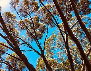 Elura Aveunue Reserve Tree 2