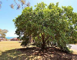 Manoora Drive Reserve Tree 1