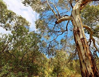 Cormorant Drive Reserve South Tree 1