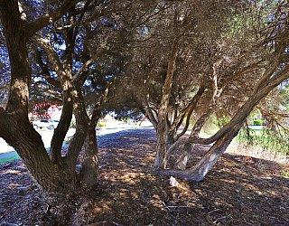 Chatsworth Court Reserve Tree 1
