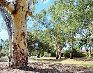Maldon Avenue Reserve Tree 2