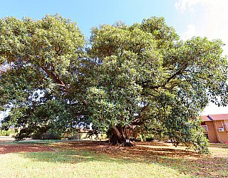 Willoughby Avenue Reserve Largest Tree 1 2