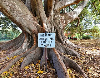 Willoughby Avenue Reserve Largest Tree 2 2