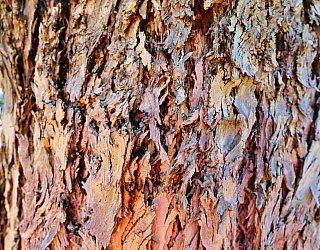 Alison Avenue Reserve Tree 1