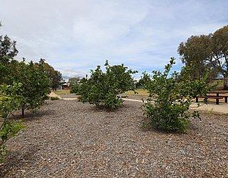 Branksome Terrace Reserve Orchard Citrus 3