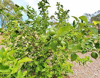 Branksome Terrace Reserve Orchard Citrus 4