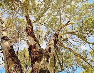Eurelia Road Reserve Tree 1