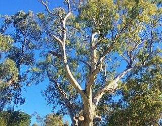 Maldon Avenue Reserve Srlp Gum Tree