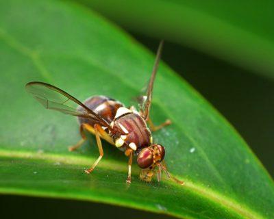 Fruit fly image