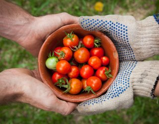 Community Gardens Tomatos