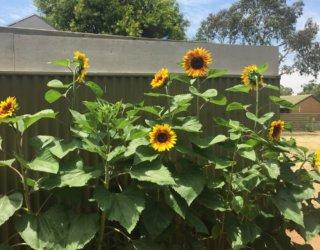 Oaklands Community Garden