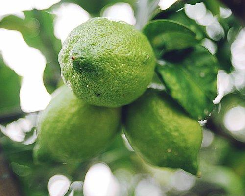 Growing Sensational Citrus